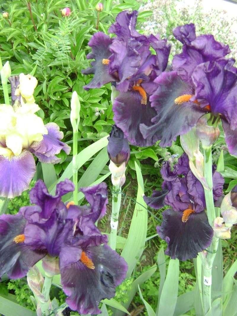 Tous nos iris regroupés ici 11810