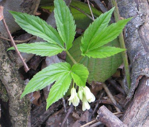 Croatie - quelques plantes de sous-bois (mi-avril) 11_cro10