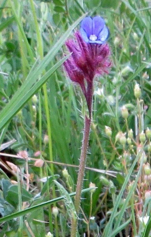 Croatie - quelques plantes de sous-bois (mi-avril) 13_cro10