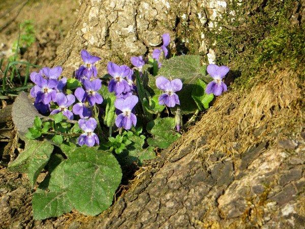 Croatie - quelques plantes de sous-bois (mi-avril) 1_bis_10