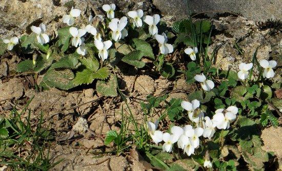 Croatie - quelques plantes de sous-bois (mi-avril) 2_bis_10