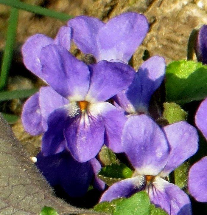Croatie - quelques plantes de sous-bois (mi-avril) 2_copy10
