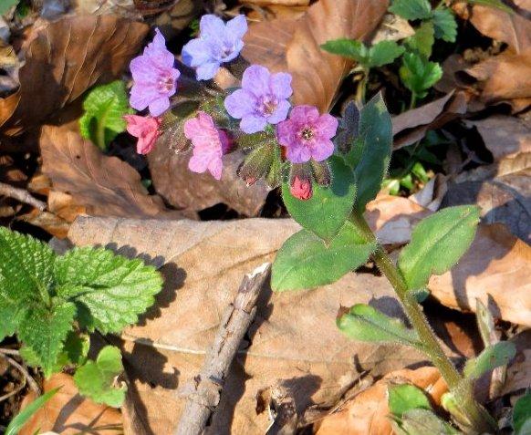 Croatie - quelques plantes de sous-bois (mi-avril) 3_croa10