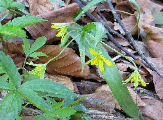 Croatie - quelques plantes de sous-bois (mi-avril) 6_gage10