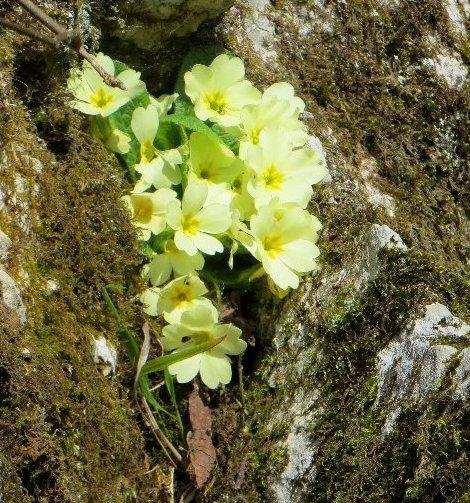 Croatie - quelques plantes de sous-bois (mi-avril) 7_prim10