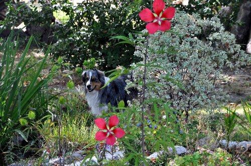 Hibiscus coccineus Aoat_210