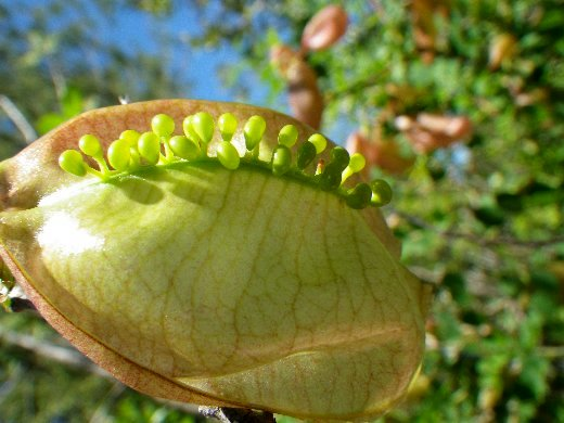 Colutea arborescens - baguenaudier Copy_116