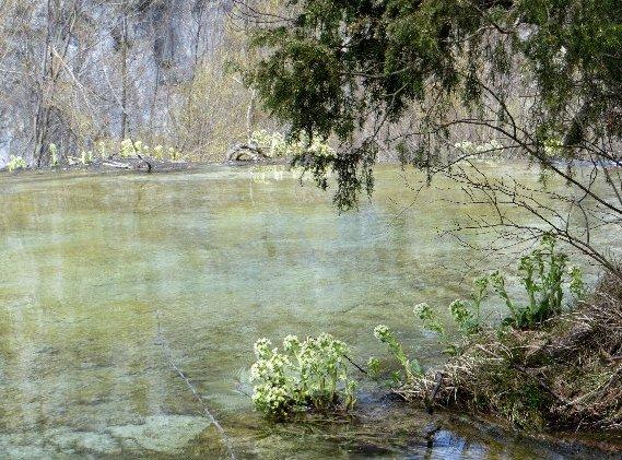 Croatie - quelques plantes de sous-bois (mi-avril) Copy_o10