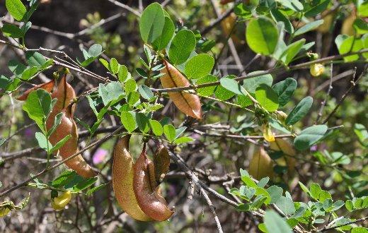 Colutea arborescens - baguenaudier Copy_o39