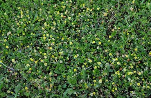 Trifolium campestre - trèfle des champs, trèfle jaune Copy_o48