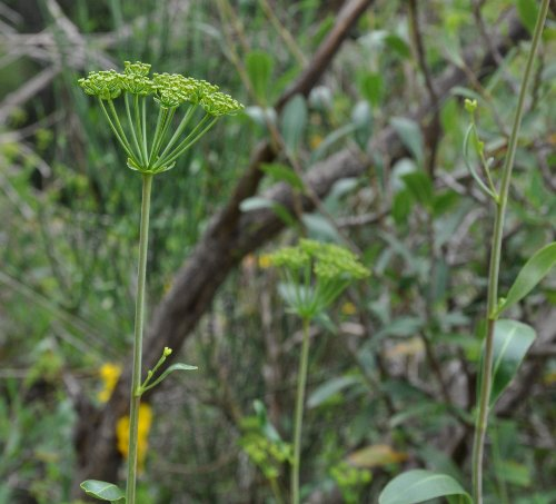 Bupleurum fruticosum - buplèvre arbustif Copy_o53