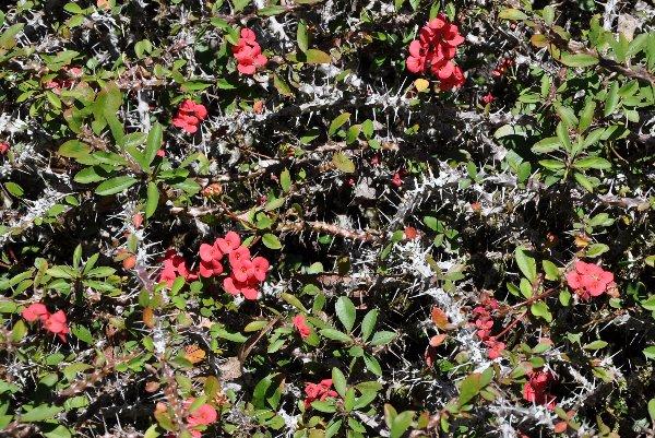 Euphorbia millii Costa_12