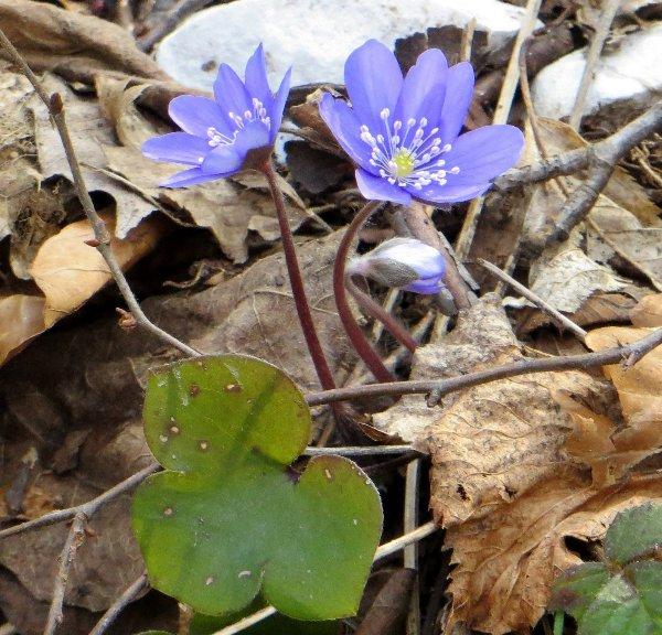 Croatie - quelques plantes de sous-bois (mi-avril) Croati14