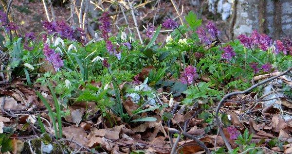 Croatie - quelques plantes de sous-bois (mi-avril) Croati15