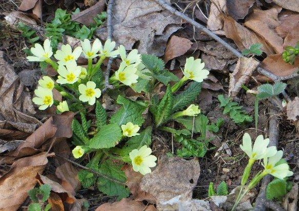 Croatie - quelques plantes de sous-bois (mi-avril) Croati16