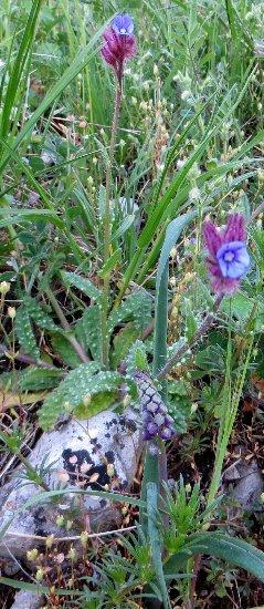 Croatie - quelques plantes de sous-bois (mi-avril) Croati19