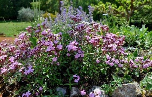 Saponaria ocymioides - saponaire de Montpellier Jardin10