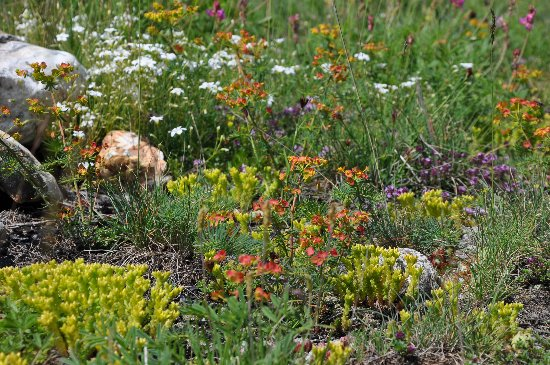 Euphorbia cyparissias - euphorbe petit cyprès Juin_211