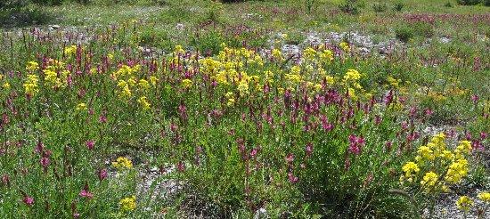 Euphorbia cyparissias - euphorbe petit cyprès Juin_212