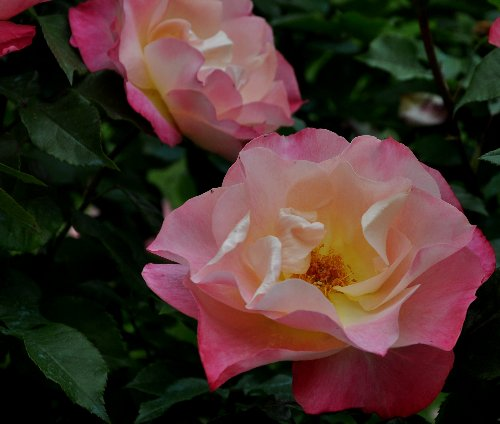 tous ces rosiers que l'on aime - floraisons Juin_239