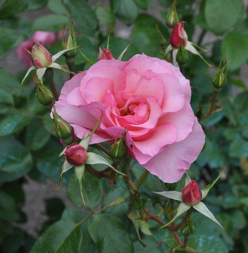 tous ces rosiers que l'on aime - floraisons Juin_241