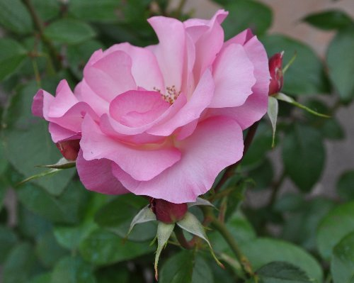 tous ces rosiers que l'on aime - floraisons Juin_242