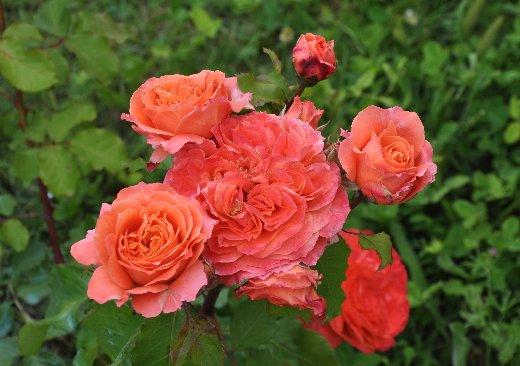 tous ces rosiers que l'on aime - floraisons Juin_243