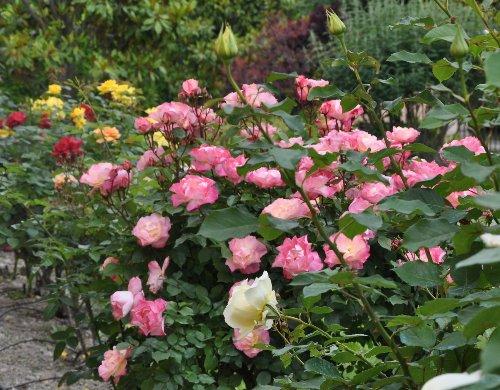 tous ces rosiers que l'on aime - floraisons Juin_246