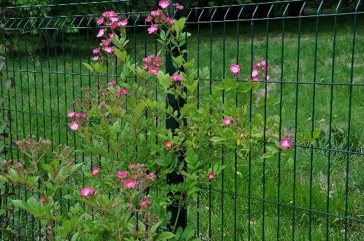 tous ces rosiers que l'on aime - floraisons Juin_247