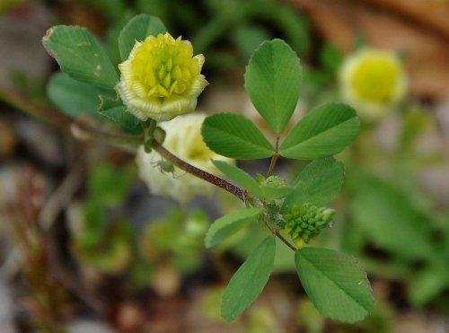 Trifolium campestre - trèfle des champs, trèfle jaune Juin_249