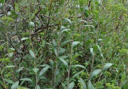 Bupleurum fruticosum - buplèvre arbustif Juin_252