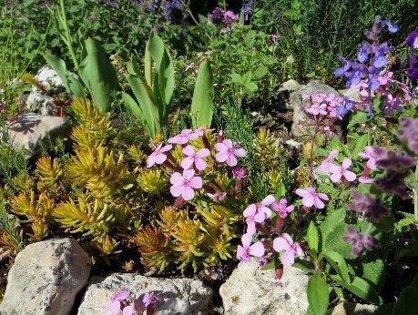 Saponaria ocymioides - saponaire de Montpellier Mai_2023