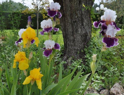 Floraisons de nos Iris barbus 2013 - Page 5 Mai_2047