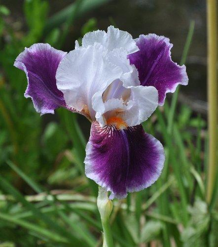 Floraisons de nos Iris barbus 2013 - Page 5 Mai_2048
