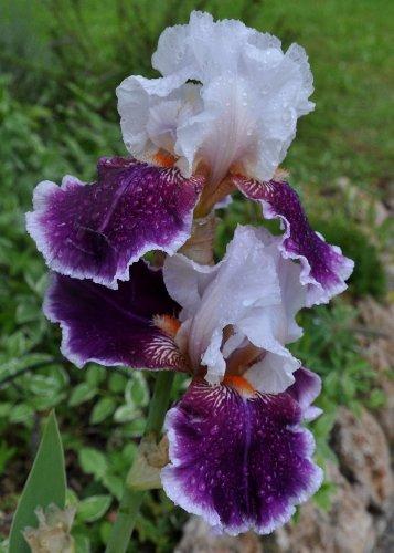 Floraisons de nos Iris barbus 2013 - Page 6 Mai_2049