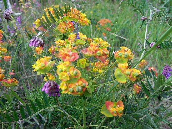 Euphorbia cyparissias - euphorbe petit cyprès Rimg5311