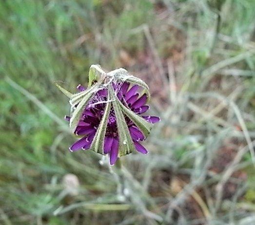 tragopogon - Tragopogon porrifolius subsp. australis - salsifis du midi Tragop11