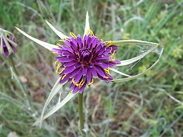 tragopogon - Tragopogon porrifolius subsp. australis - salsifis du midi Tragop14