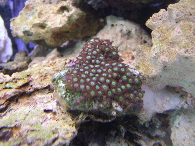 nouvel aquarium eau de mer Dscf0613