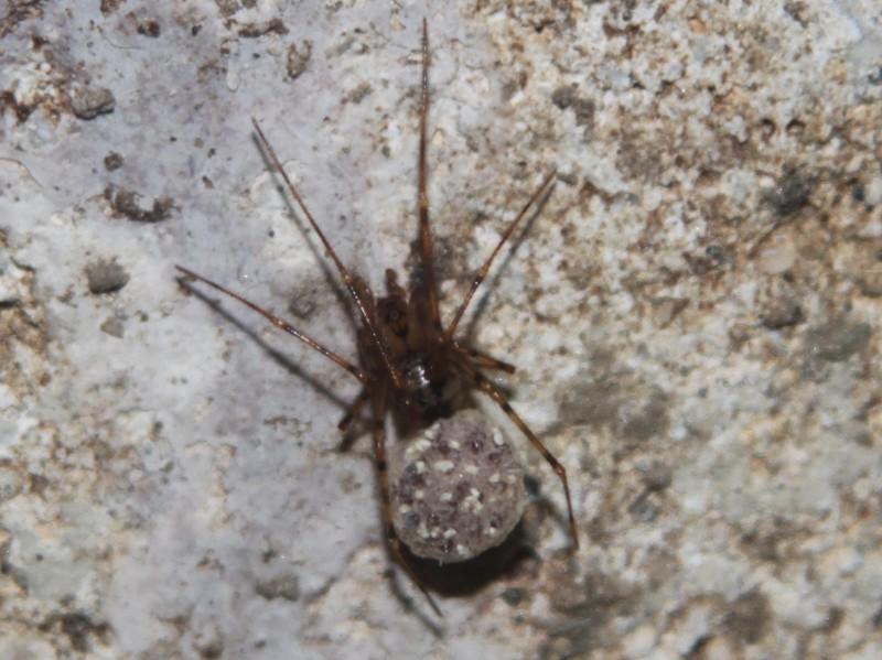 Nesticus eremita (nouvelle venue en Bretagne) Belle-10