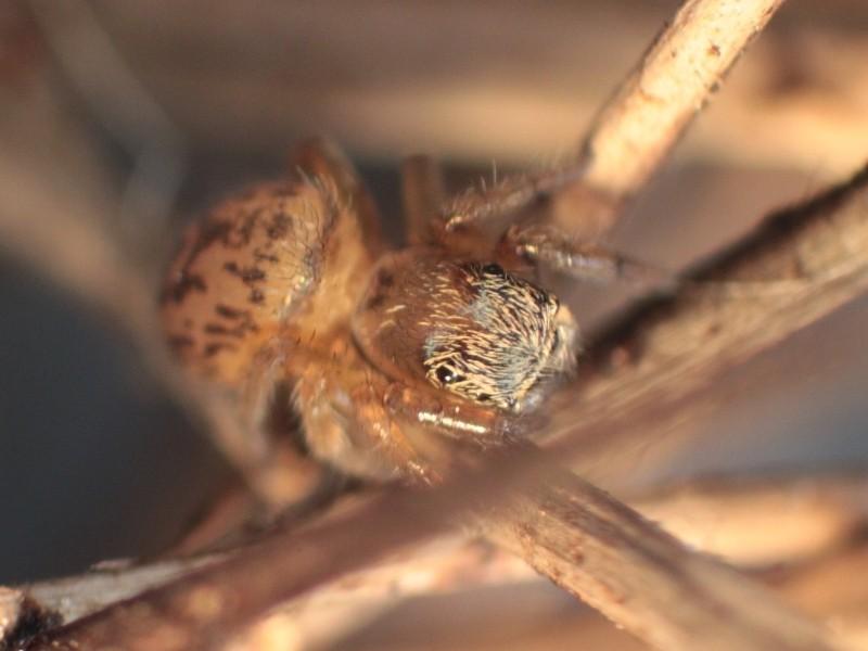 Araignée des litières : Euophrys frontalis ? Iffend11