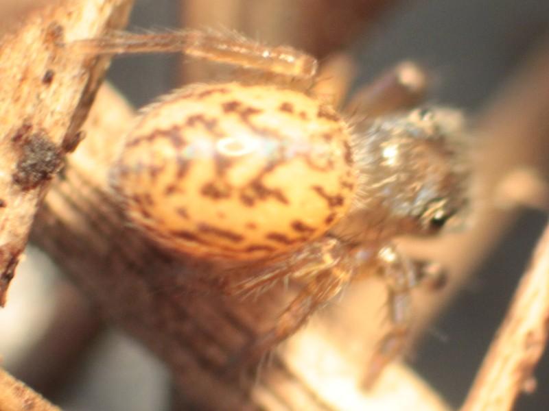 Araignée des litières : Euophrys frontalis ? Iffend13
