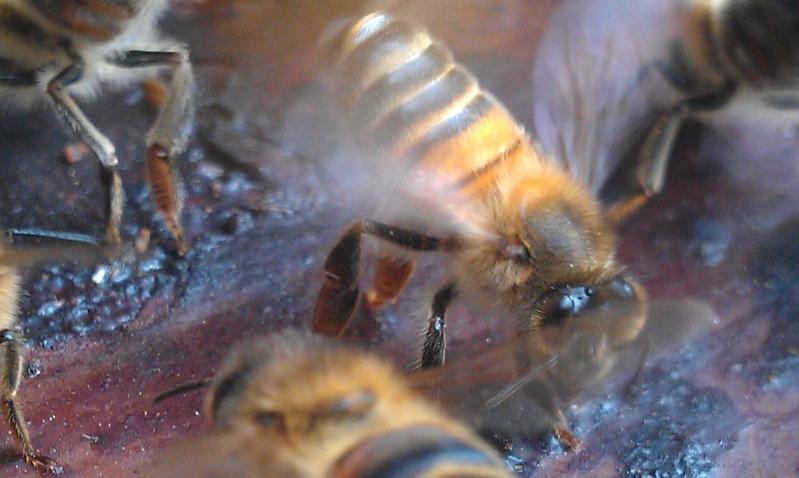 Capture d un essaim par ruche piége. photos et vidéo. Imag2810