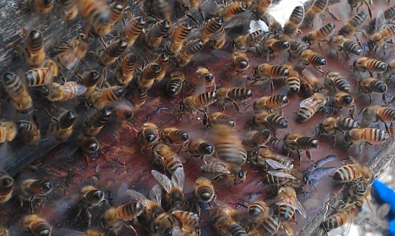 Capture d un essaim par ruche piége. photos et vidéo. Imag2812