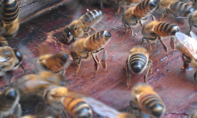 Capture d un essaim par ruche piége. photos et vidéo. Imag2813