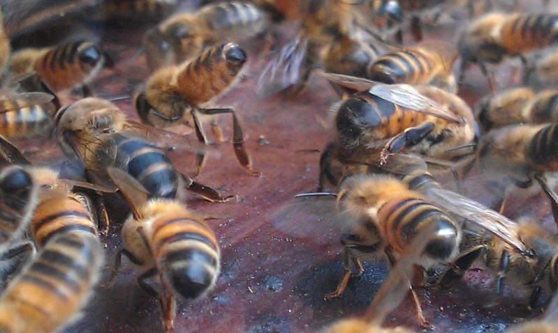 Capture d un essaim par ruche piége. photos et vidéo. Imag2814