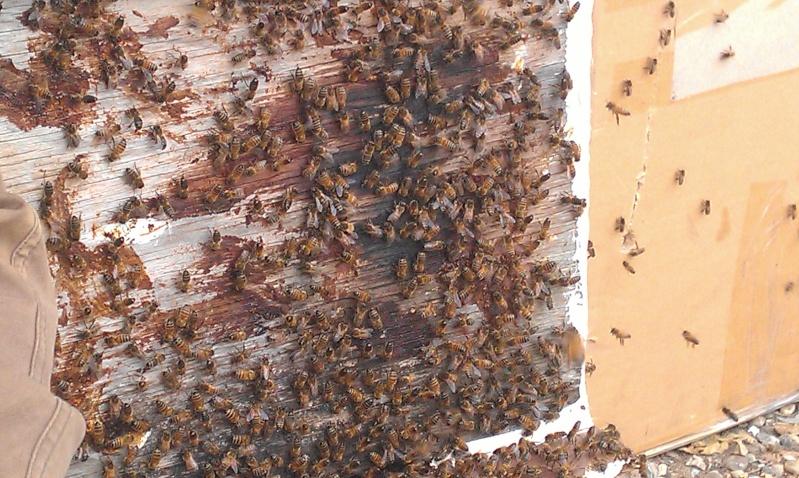 Capture d un essaim par ruche piége. photos et vidéo. Imag2815