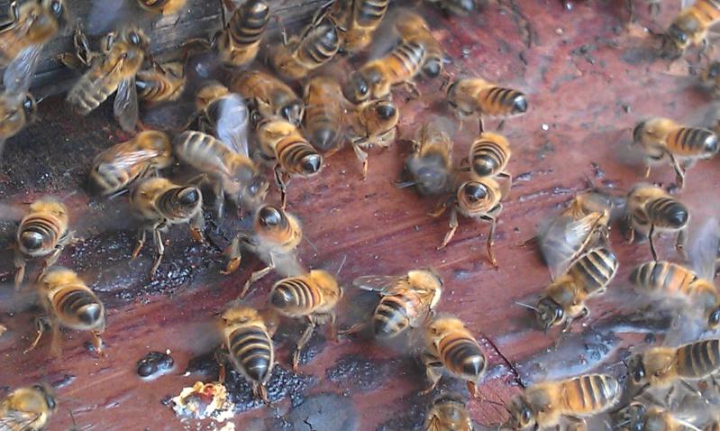 Capture d un essaim par ruche piége. photos et vidéo. Imag2816