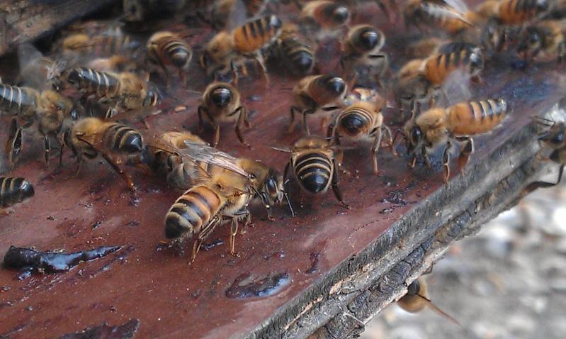 Capture d un essaim par ruche piége. photos et vidéo. Imag2817