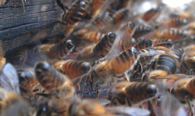 Capture d un essaim par ruche piége. photos et vidéo. Imag2819